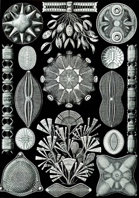 illustration-of-diatoms-the-84th-plate-from-ernst-haeckels-kunstformen-der-natur_web